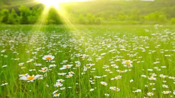 Campo de flores de manzanilla — Vídeo de stock