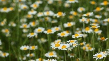Chamomile flowers field — Video Stock