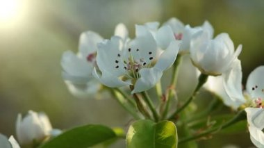 Apple blossom — Stock Video