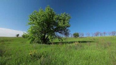 Baum im grünen feld — Stockvideo
