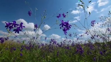 Violet flowers field — Stock Video
