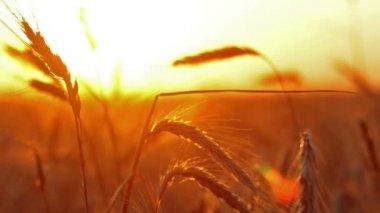 Ears of wheat — Stock Video