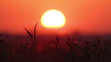 колосья пшеницы — Стоковое видео