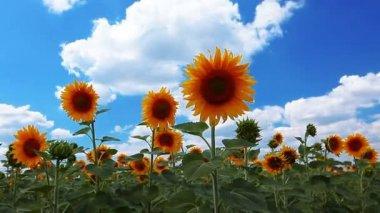 Sunflowers — Stock Video