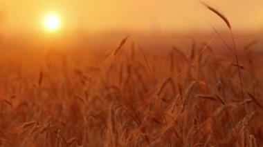 Espigas de trigo — Vídeo de Stock