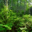 Birch forest — Stock Video #44653641