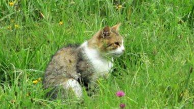 Domestic cat in grass — Stock Video