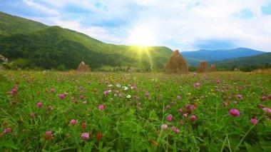 Clover flowers field — Stock Video
