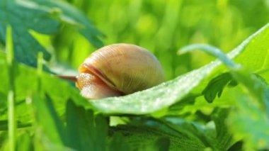 Snail crawling — Stok video