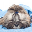 Funny puppy with a blue towel — Stock Photo