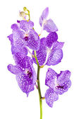 Orchid flower branch with buds — Stok fotoğraf