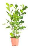 Ficus in vaso marrone — Foto Stock