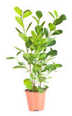 Ficus in the brown pot — Stock Photo