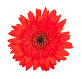 Single red gerbera flower — Stock Photo