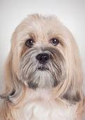Close up portrait of lhasa apso dog — Stock Photo