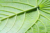 Green leaf texture as background — Stock Photo