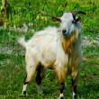Goat grazed on meadow — Foto Stock