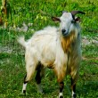 Stock Photo: Goat grazed on meadow