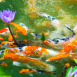 Japanese koi fish with background — Stock Photo