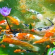 Japanese koi fish with background — Stock Photo #34948369