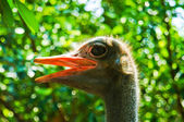 Ostriches. a portrait photo of an ostrich — Stock Photo