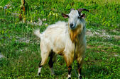 Goat grazed on meadow — Stock Photo
