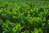 Tobacco leafs at a plantation — Stockfoto