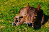 Baby ko på bakgrunden. — Stockfoto