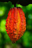 Cocoa fruit in the tree. Cocoa pods in tree, — Stock Photo