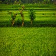 Bali Indonesia. Green rice fields on Bali island — Stock Photo