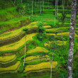 Bali Indonesia. Green rice fields on Bali island — Stockfoto #42577421