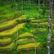 Bali Indonesia. Green rice fields on Bali island — Stok fotoğraf