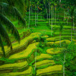 Bali Indonesia. Green rice fields on Bali island — Stockfoto #42577491