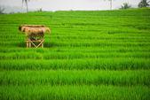 Bali Indonesia. Green rice fields on Bali island — Stock Photo