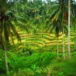 Bali Indonesia. Green rice fields on Bali island — Stockfoto #42954577