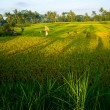 Bali Indonesia. Green rice fields on Bali island — Stockfoto #42981753