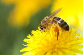 Honeybee on Marigold — Stock Photo