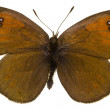 Erebia tyndarus (Swiss Brassy Ringlet) — Stock Photo