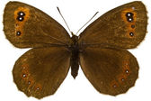Erebia aethiops (Scotch Argus) — Stock Photo
