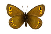 Erebia medusa (Woodland Ringlet) — Stock Photo
