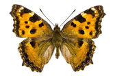 Nymphalis xanthomelas (Yellow-legged Tortoiseshell) — Stock Photo