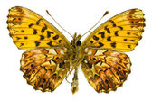 Boloria (Clossiana) titania (Titania's Fritillary) — Stock Photo