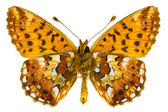 Boloria aquilonaris (Cranberry Fritillary) — Stock Photo