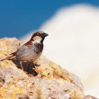 Passer domesticus (House Sparrow) - Stock Photo