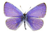 Celastrina argiolus (Holly Blue) — Stock Photo