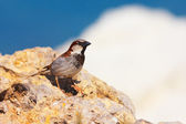 Passer domesticus (House Sparrow) — Stock Photo