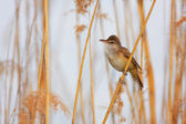Great Reed Warbler (Acrocephalus arundinaceus) — Stock Photo