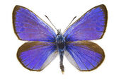 Glaucopsyche alexis (Green-underside Blue) — Stock Photo