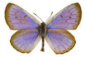 Phengaris arion (Large blue) — Stock Photo