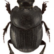 Stock Photo: Onthophagus psychopompus